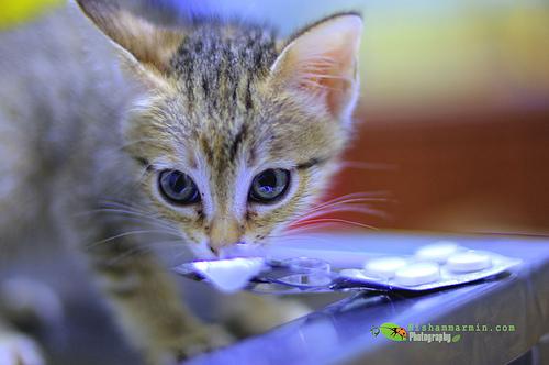 kucing dan parasetamol