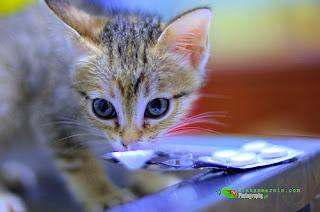 Jangan Memberi Parasetamol pada Kucing