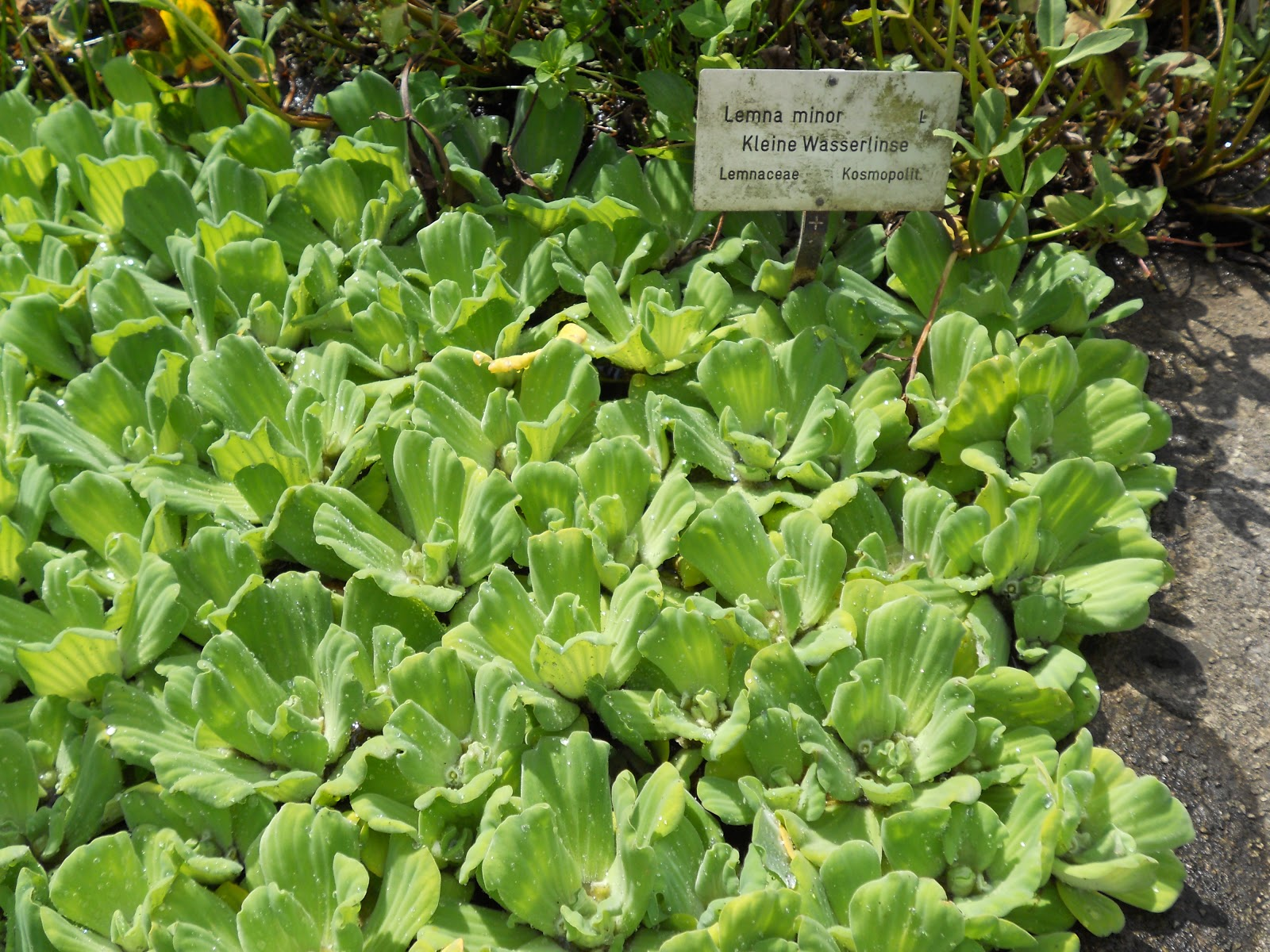Jardineria eladio nonay plantas acu ticas flotantes - Jardineria eladio nonay ...