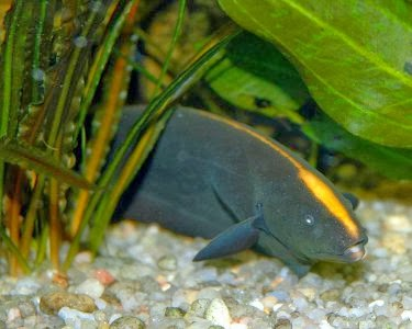 Animals world january 2014 for Black ghost knife fish for sale