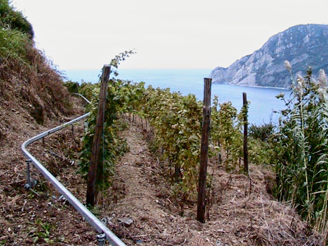 Vineyards hillside in Liguria