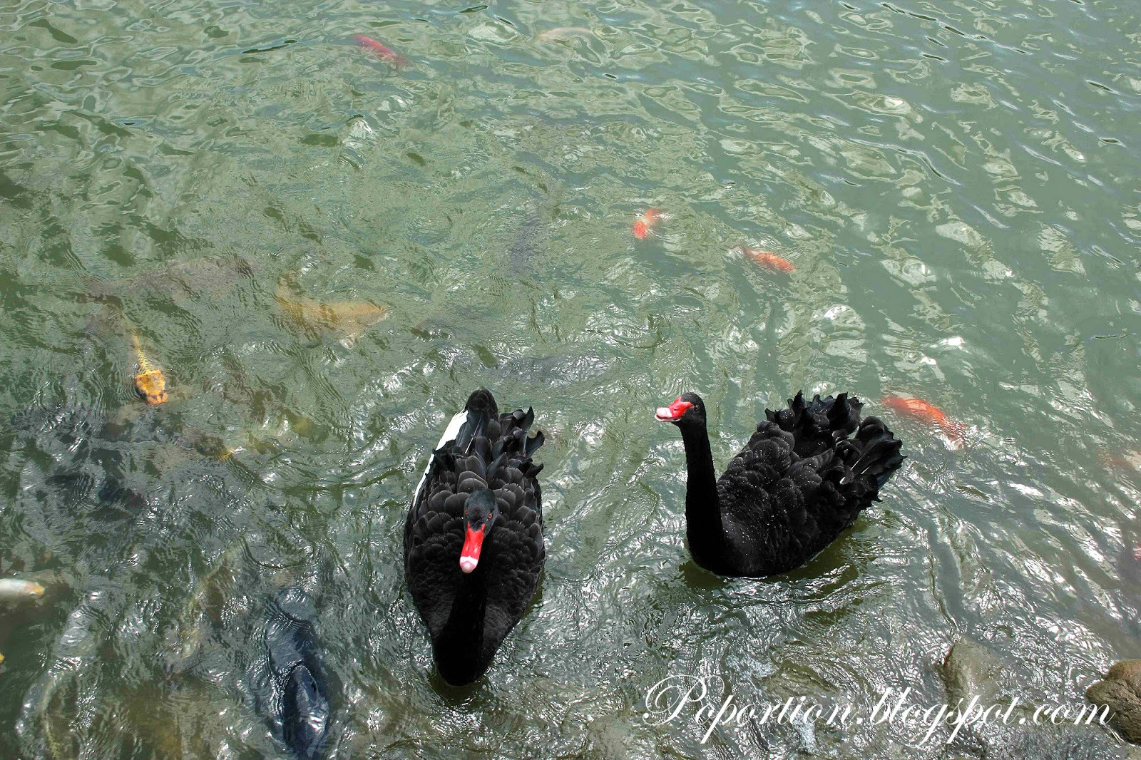 black swans in the lake