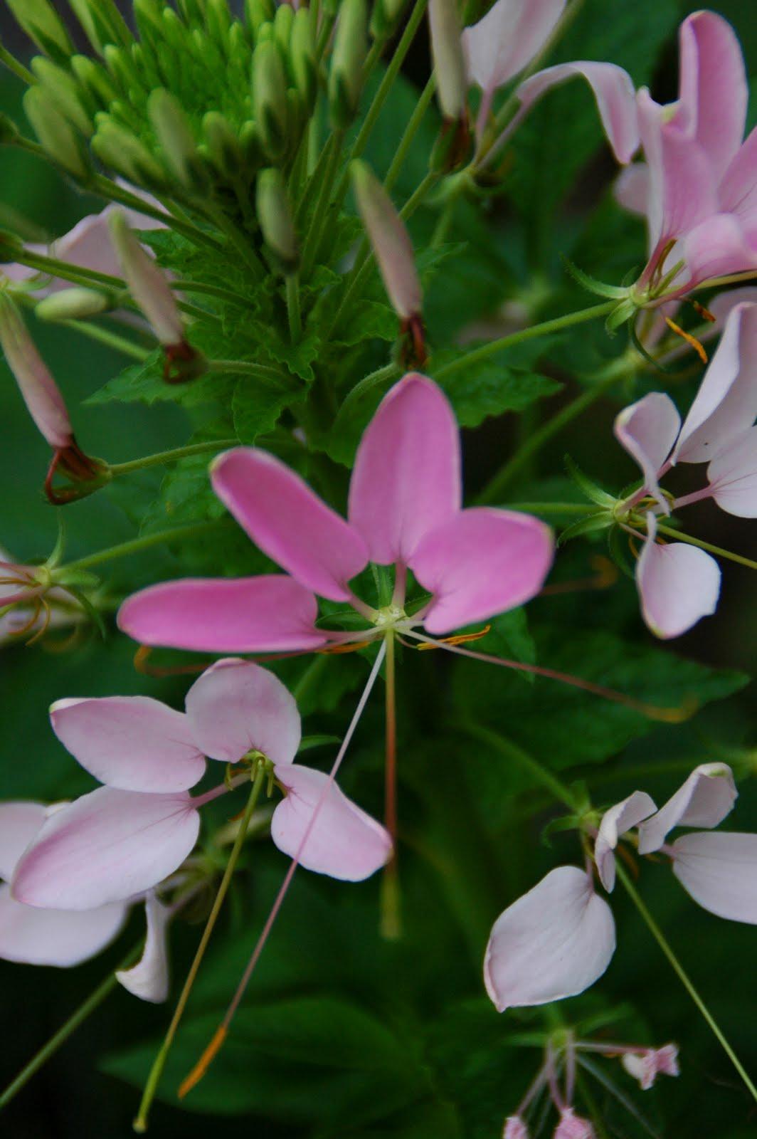 Our Tiny Oak Park Bungalow Spider flowers