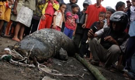 Ikan Raksasa di Sungai Cimanuk Kabupaten Garut