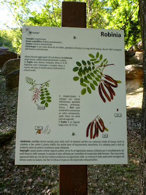 Robinia psuedoacacia Description in Ciciu del Villar