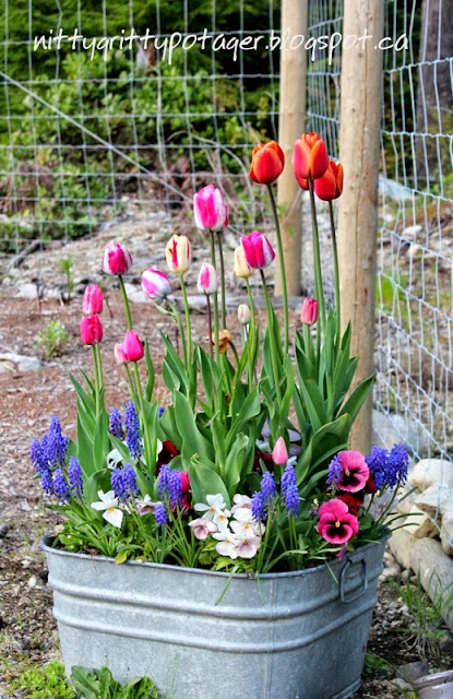Planting spring flowering bulbs in containers - Planting hyacinths pots ...