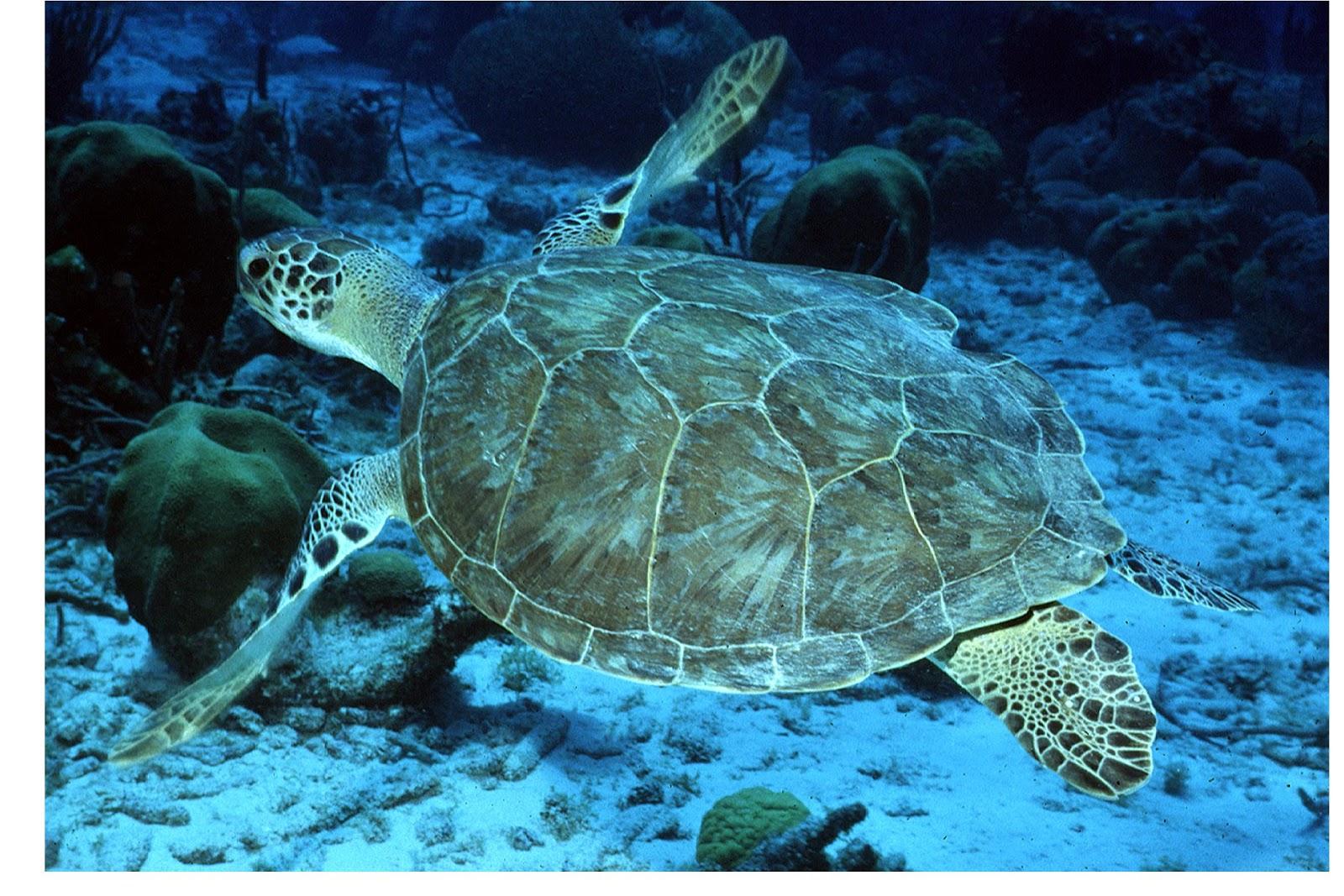Http Wildlifeanimalz Blogspot Com 2012 12 Hawksbill Turtles Html