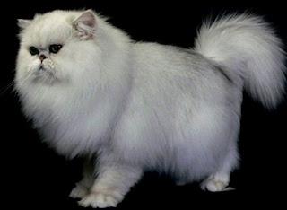 Ini Dia Jenis Jenis Kucing Peliharaan Paling Favorite Di