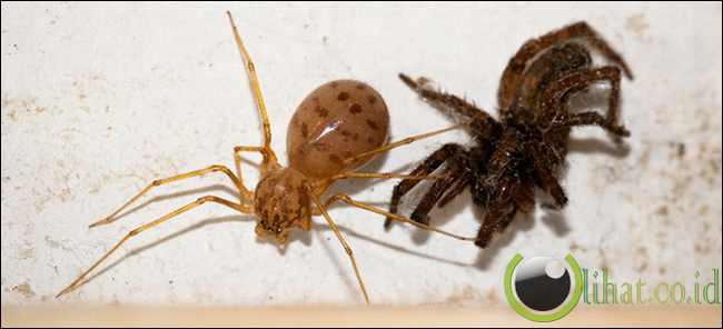 Spitting Spider (Laba-laba Peludah)