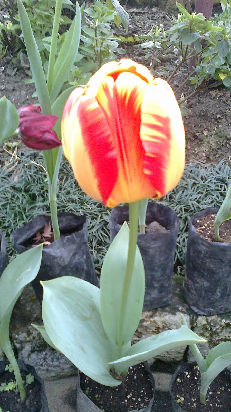 Magnificent Yellow and Red Tulip