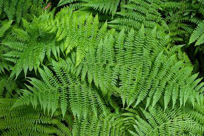 Mengenal Ciri Tumbuhan Paku (Pteridophyta) dan Reproduksinya