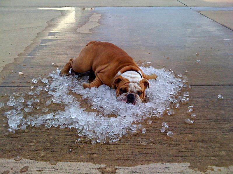 cachorro deitado no gelo com calor para refrescar