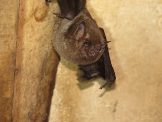Glossophaga soricinia, Pallas's Long-tongued Bat