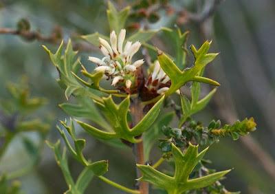 Parrot Bush (Banksia [Dryandra] sessilis)
