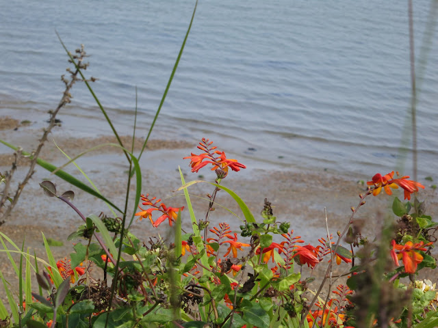 Crocosmia (Montbretia) on a cliff beside Portland Harbour (Dorset)