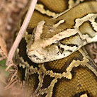 2013 Florida Python Hunt Underway