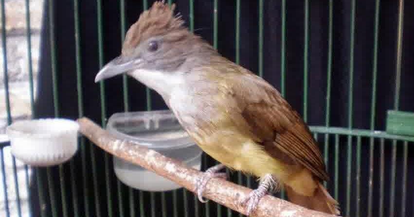 cara mengetahui burung cucak jenggot jantan dan betina