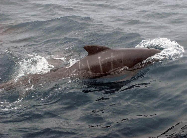 Algerine porpoise