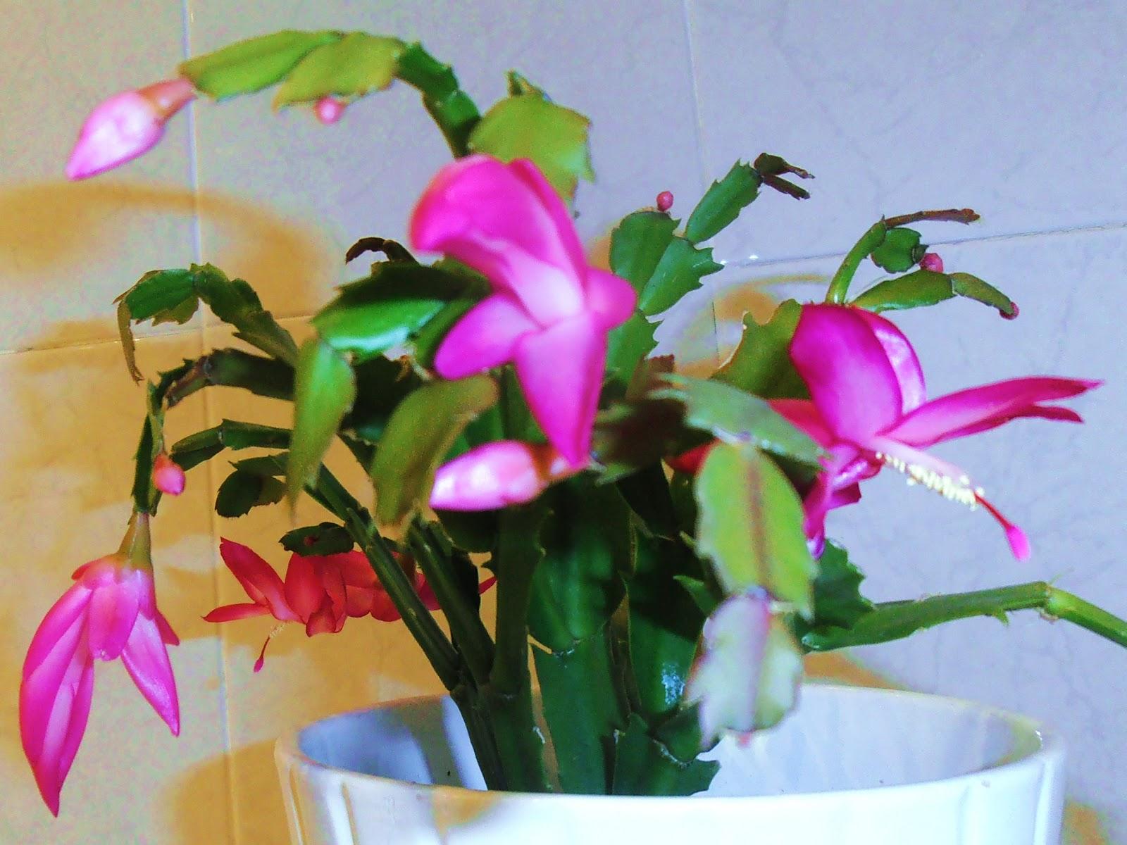 La ventana de javiruli plantas de interior 20 esquejes for Santa teresita planta