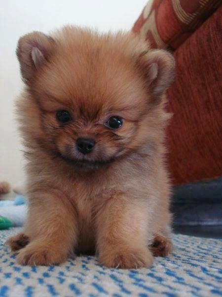 How much does a Pomeranian Puppy Cost?