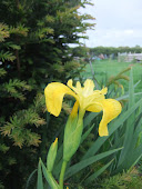 Yellow flag Iris pseudacorus 2011/52