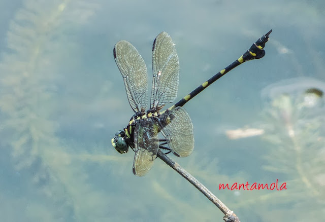 Macrogomphus quadratus (Common Flangetail)