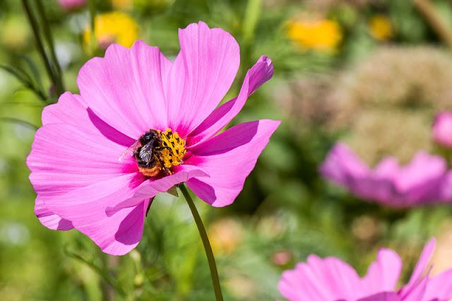 Bumblebee on cosmos flower črmlj na rožici cosmos summer fantasy