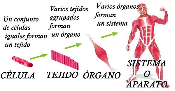 Niveles de organización en el cuerpo humano (célula, tejido, órgano ...
