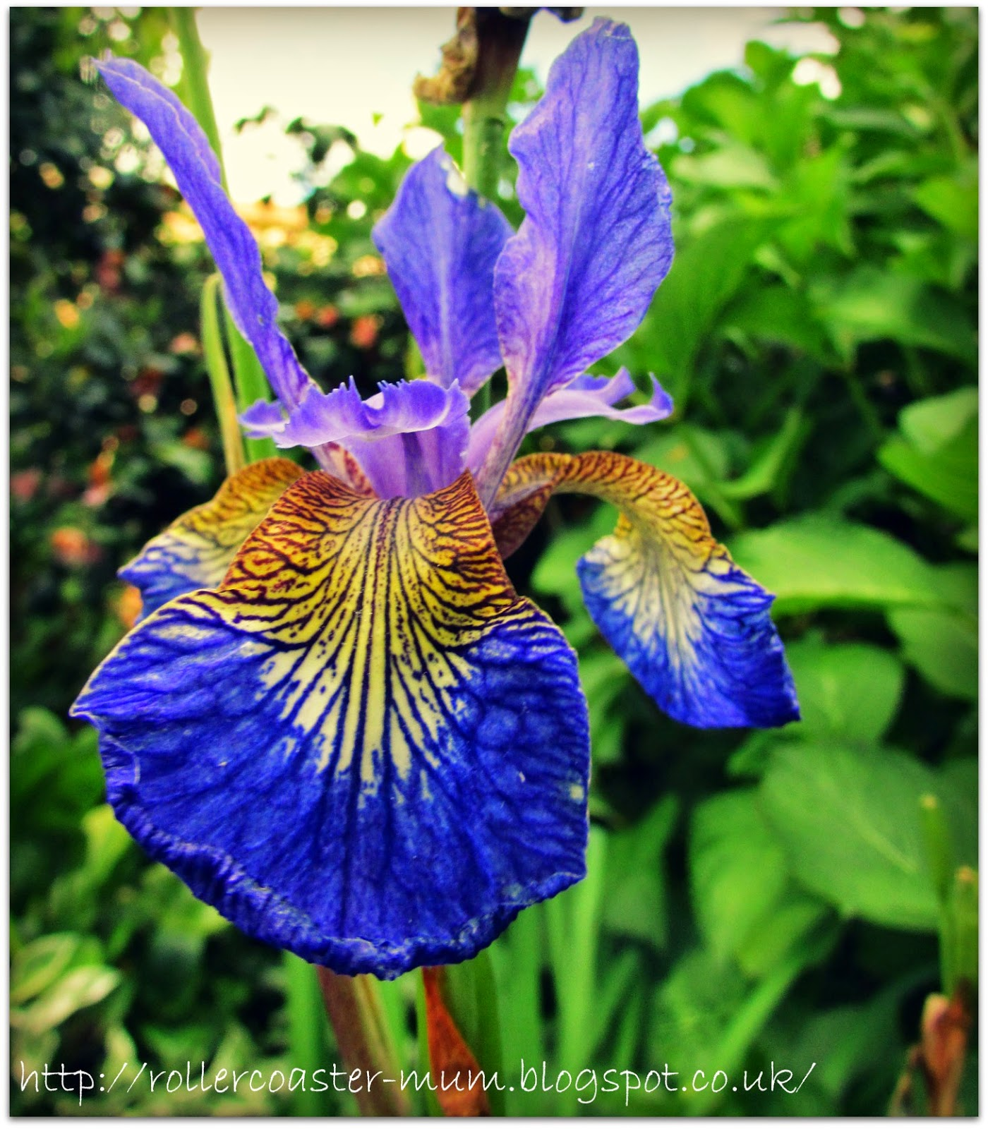 gorgeous purple Iris flower