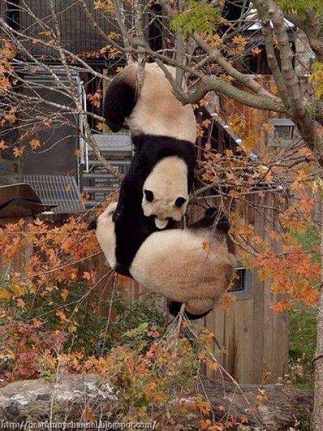 Funny pandas.