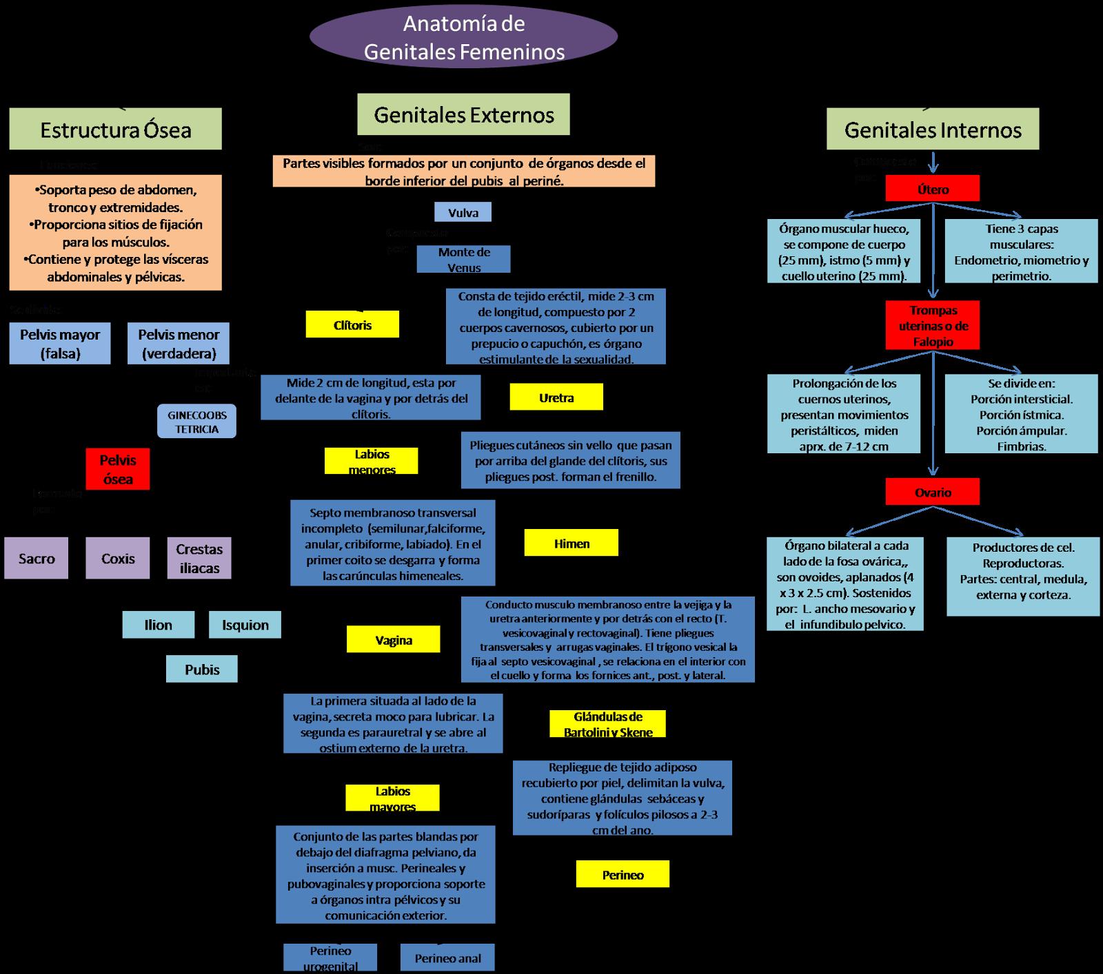 Blog de Ginecología.: Mapa conceptual de genitales femeninos.
