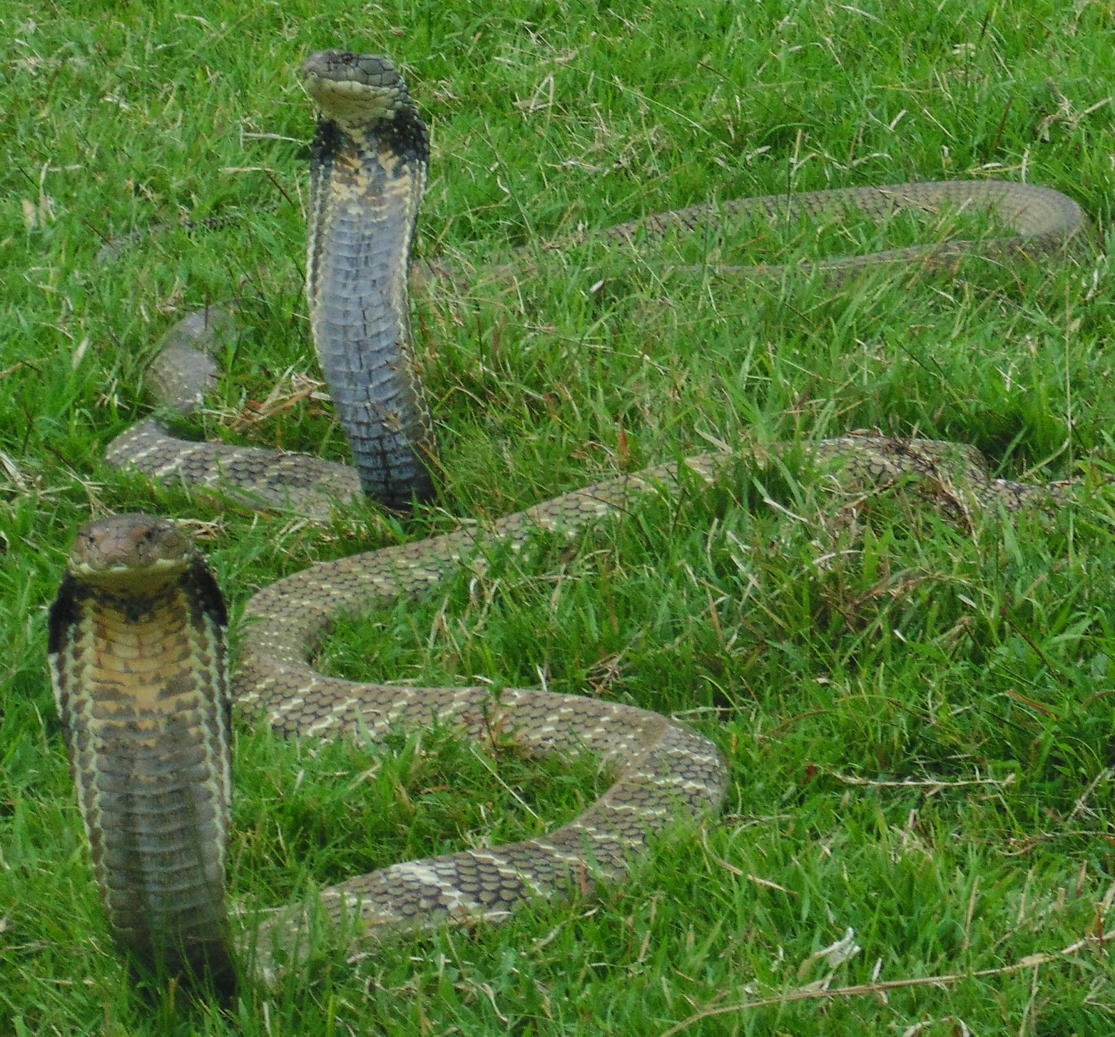 foto ular cobra - gambar hewan - foto ular cobra
