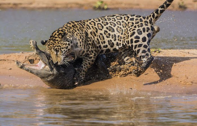 jaguar who turned into jaws 06 Video Dan Gambar Pertarungan Sengit Jaguar Dan Buaya
