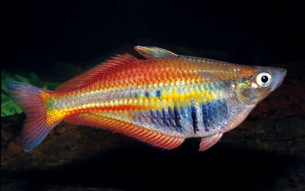 Ikan Pelangi Papua Terancam Punah