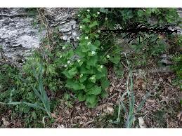 Usturoita (Alliaria petiolata)