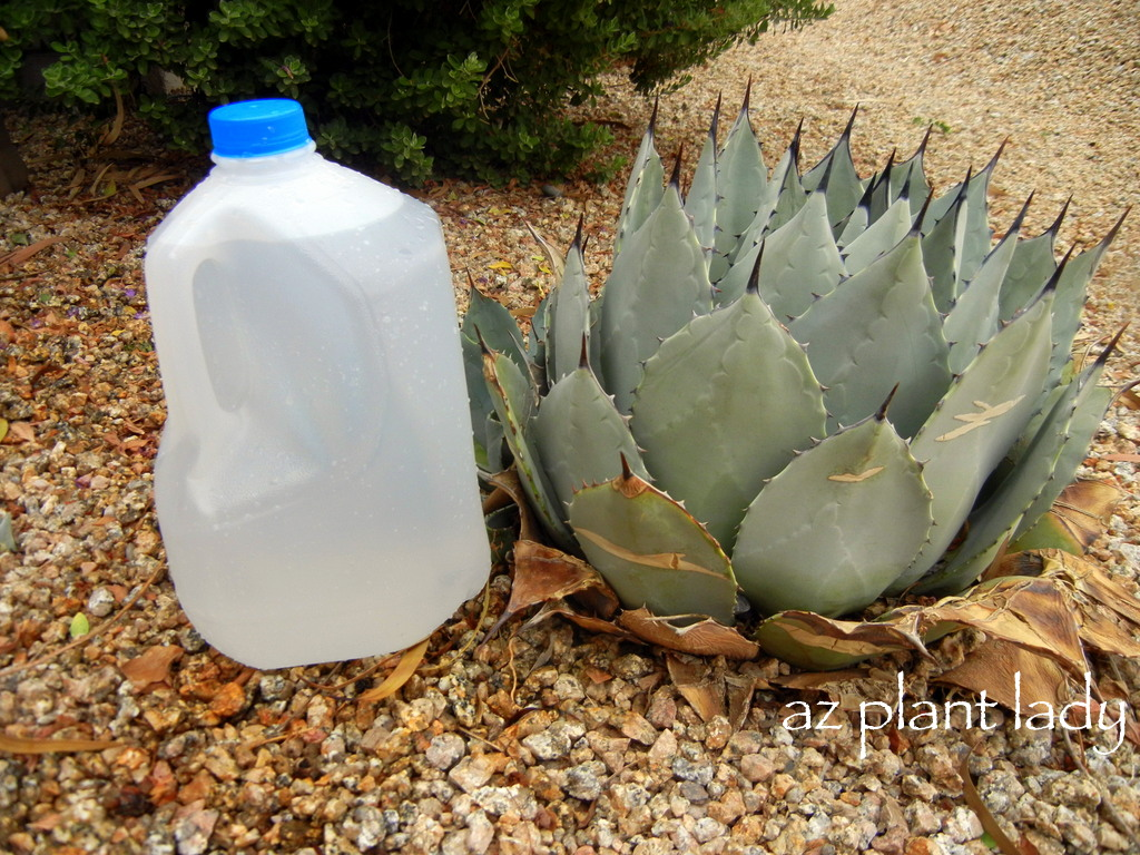 Diy garden project portable drip irrigation using a recycled milk jug ramblings from a desert - Diy drip irrigation systems ...