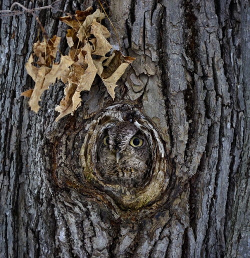 Owl: The master of camouflaged
