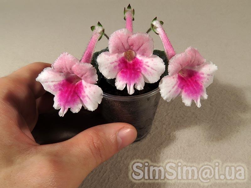 """Синнингия """"SimSim Pink Flamingo"""""""