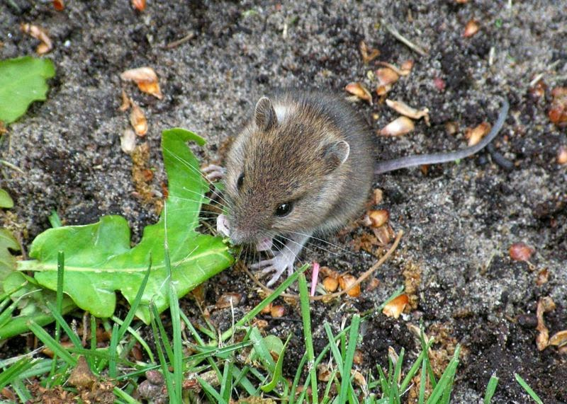 Características, alimentação, reprodução e distribuição do Rato caseiro (Mus domesticus).