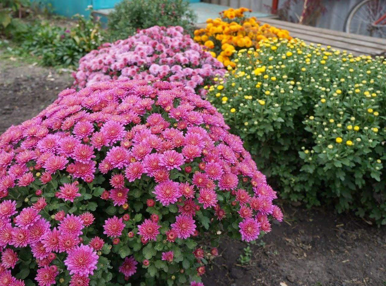 Как вырастить хризантемы