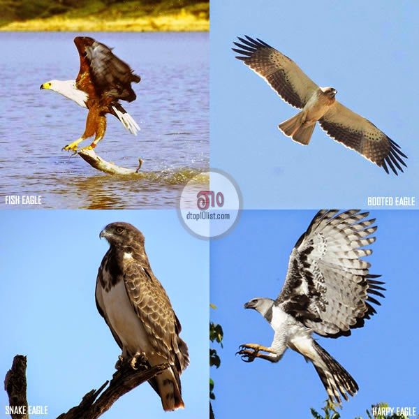 4 groups of eagles - 10th fact