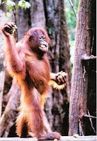 Orangutans | Rare Animals | prevent wildlife species