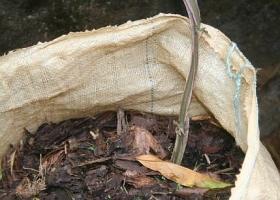 siembra de dioscorea en saco