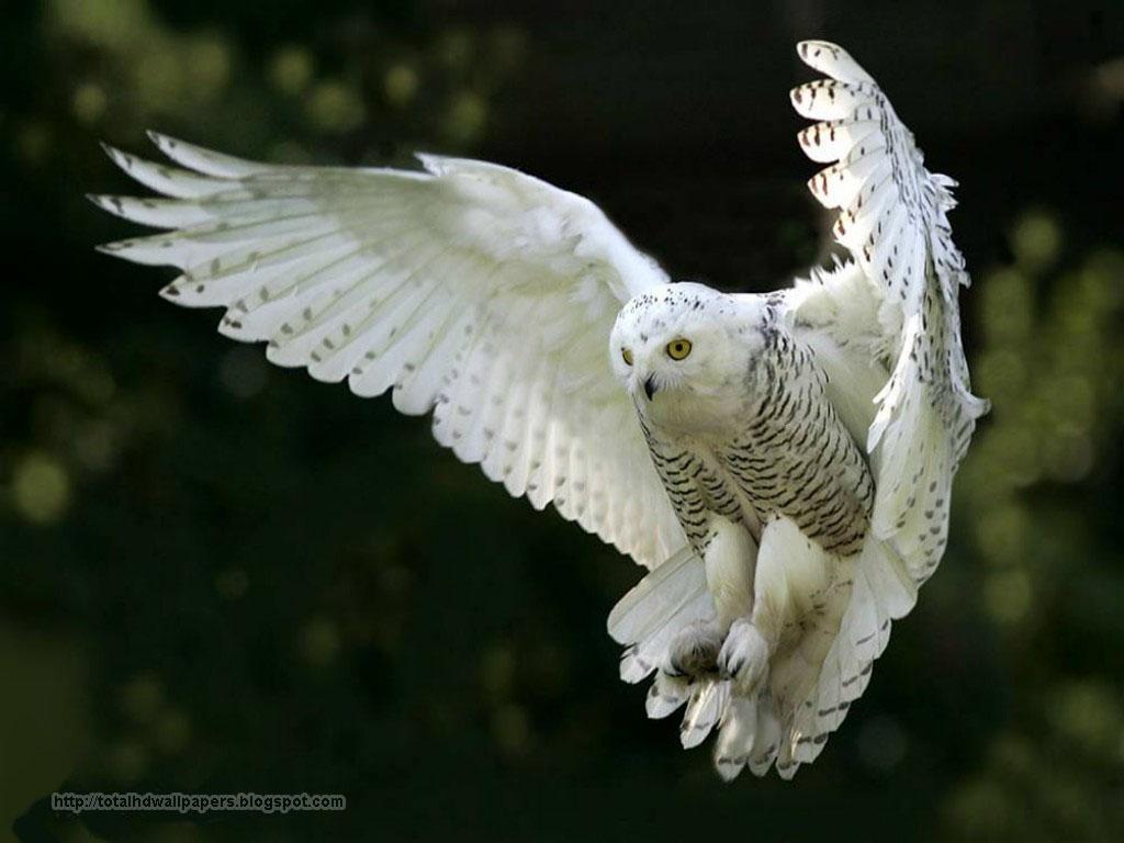 ... Beautiful h... Owl Desktop Wallpaper Hd