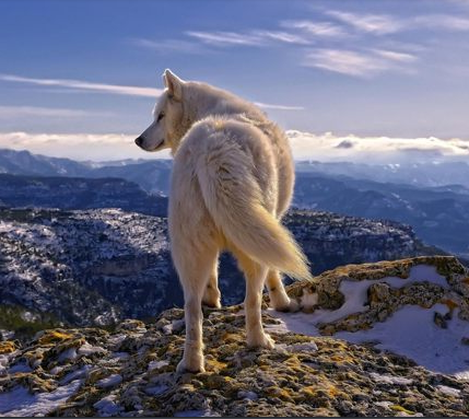 Wolf On The Mountain Top