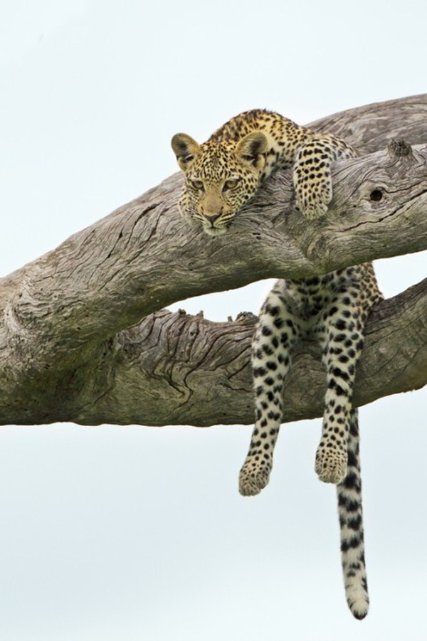 cheetah sitting on tree, funny animal pictures, animal pics