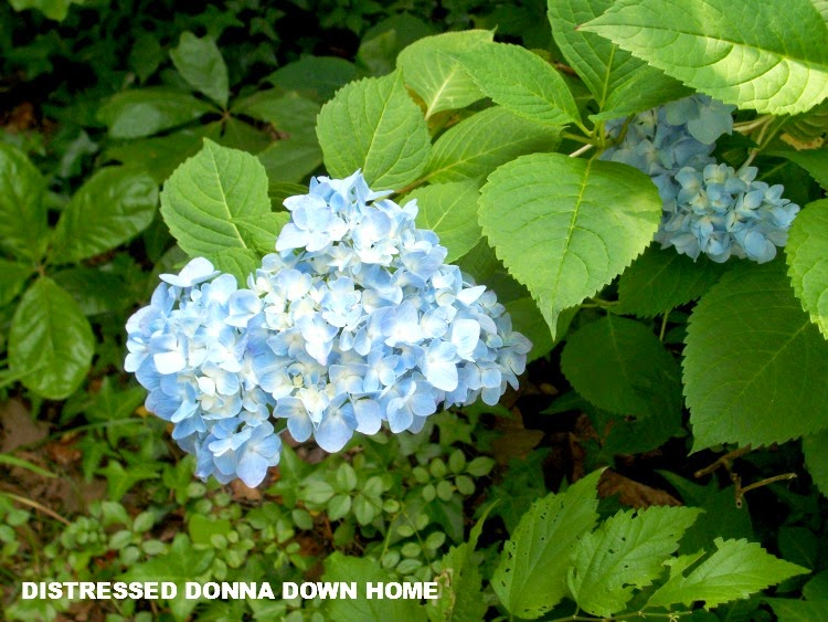 Hydrangea, Queen Anne's Lace, gardening, blooms, flowers