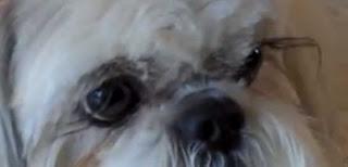 ojos shih tzu