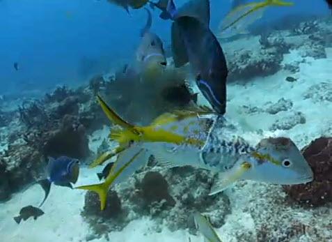Video sorprendente: Graban el momento en que muchos peces comen de otro pez aun vivo