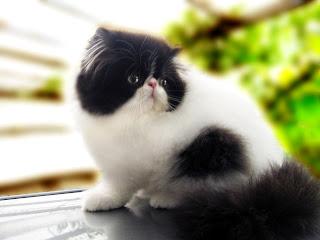 9 Cara Mudah & Murah Merawat Kucing Persia